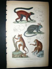Cuvier C1835 Antique Hand Col Print. Red Lemur, Galago Senegal, Sloth of Bengal, 16